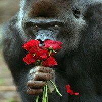 一个大猩猩的微信表情包搞笑图片_微信头像图