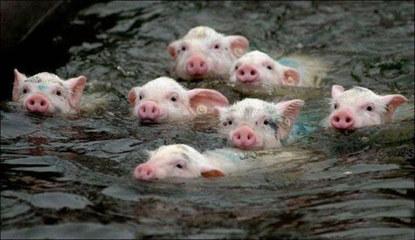 【拍砖】搞笑动物之疯狂的猪,猪的搞笑图片大